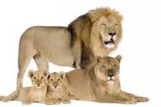 Внезапно приснился лев — нюансы расшифровки по сонникам