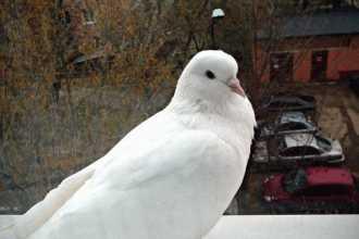 Примета: голубь прилетел и сел на подоконник за окном