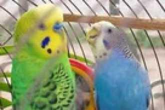 Попугай — как научить говорить