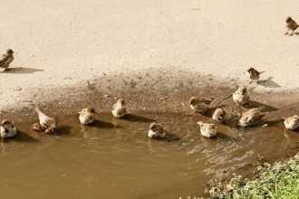 Примета: воробьи купаются в луже — толкование