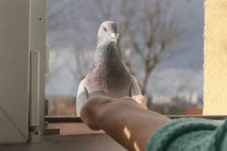 Примета: голубь залетел в окно квартиры или дома
