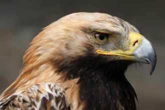 Приснился орел — как правильно толковать по сонникам