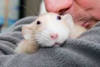 Приснились белые мыши: толкование по популярным сонникам