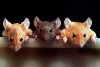 Приснилось много мышей: как правильно толковать по сонникам
