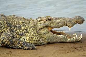 Что значит крокодил по сонникам и как получить выгоду из этого сна