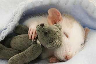 К чему снятся крысы и мыши?