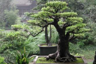 Как правильно вырастить денежное дерево по фэн шуй