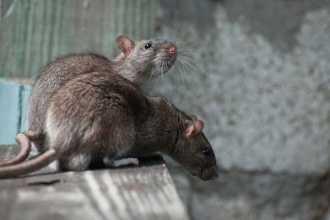 Заговоры против крыс и мышей: избавляемся от грызунов с помощью магии