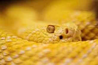Приснилась желтая змея — как правильно толковать по соонникам